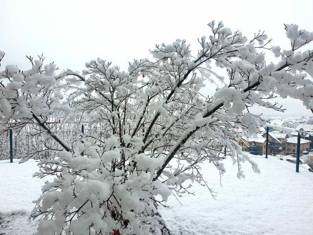 Snowy tree.