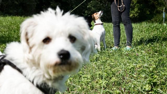 Weisser Hund auf Gras