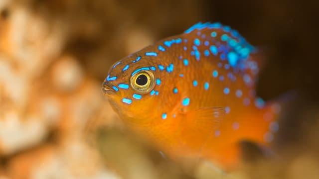 Oranger Fisch mit leuchtenden blauen Punkten.
