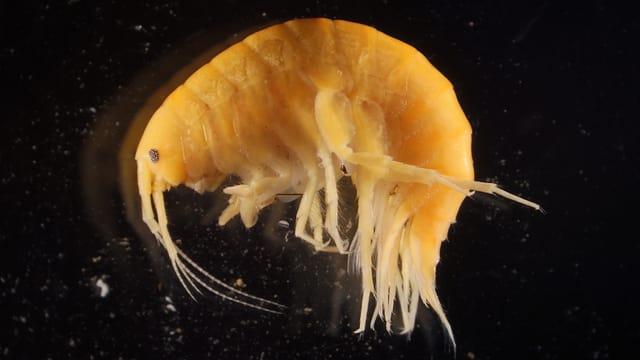 Bild eines Flohkrebses