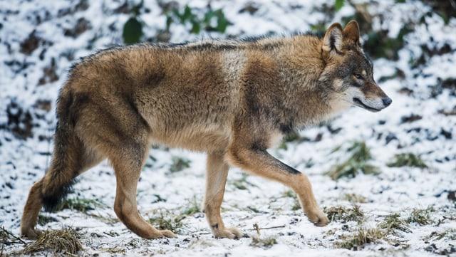 Wolf unterwegs im Schnee (Symbolbild)