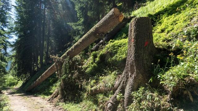 Gefällter Baum, der an steilem Hang stand
