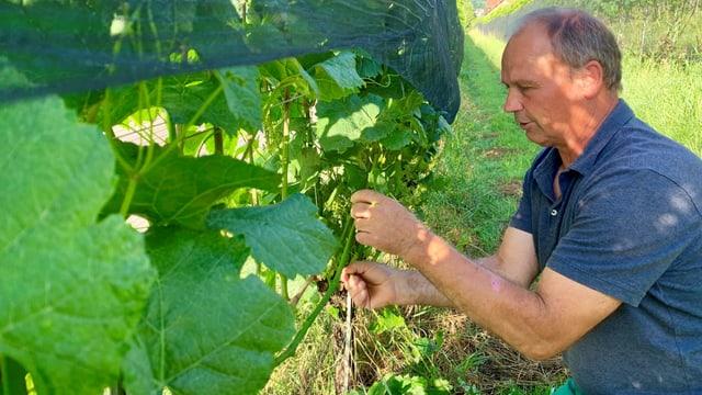 Winzer Christian Herzog befreit die Traubenzone der Reben von Blättern.