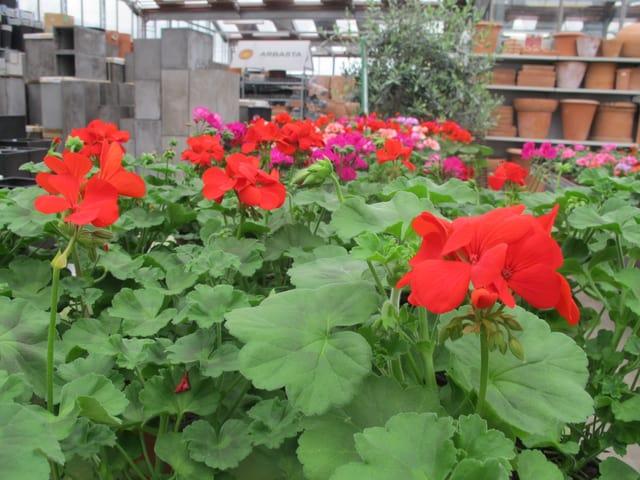 Auch den Pflanzen sieht man das schlechte und kalte Wetter an: Die Geranien haben weniger und kleinere Blüten als sonst. Viele Knospen sind noch gar nicht geöffnet.