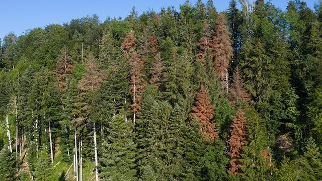 Wald mit roten Tannen