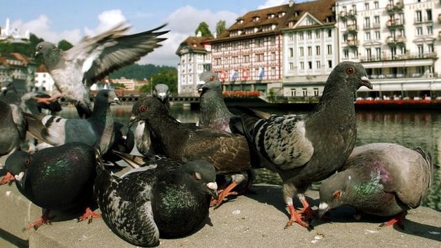 Tauben sitzen auf Mauer