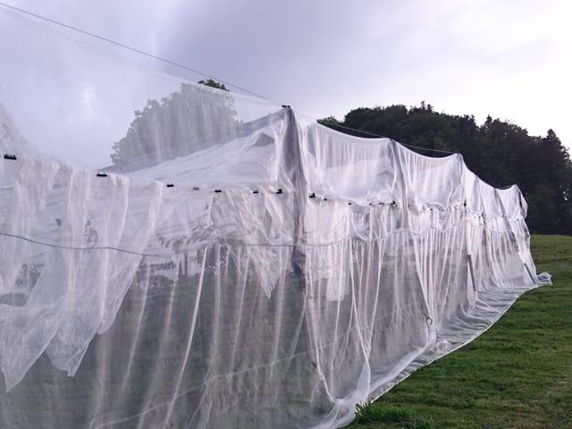 Weisse Netze verhängen Kirschbäume