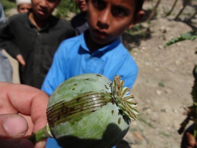 Jemand hält eine Opium-Samenkapsel, die angeritzt wurde. So gewinnt man Roh-Opium, eine braune bis schwarze Masse.