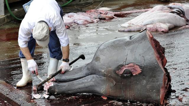 Mann hantiert an einem abgetrennten Delfinkopf.