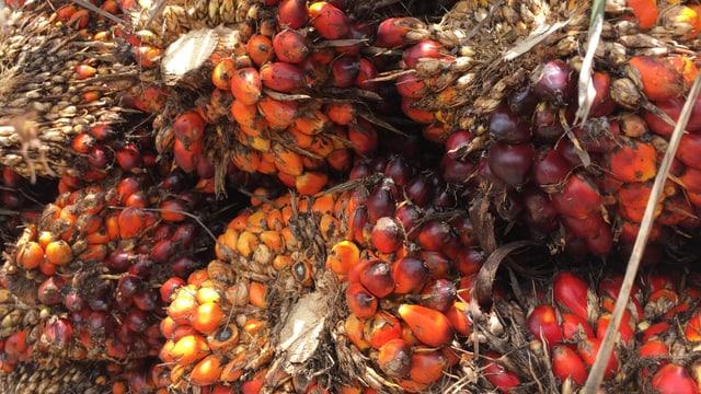 Palmfrüchte am Strunk, orange bis rot.