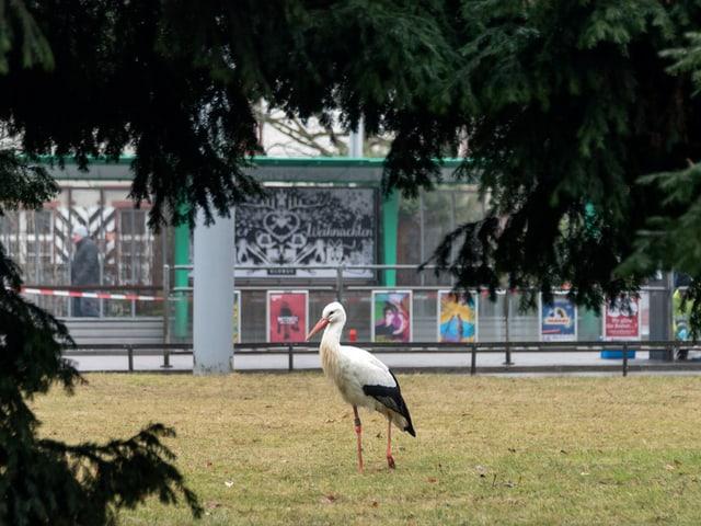 Storch spaziert im Park.