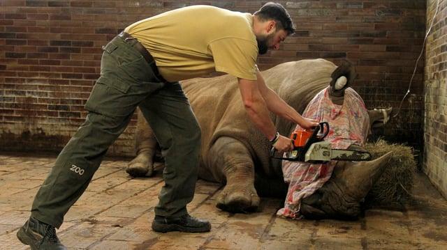Ein Mann mit einer Kettensäge kürzt das Horn eines Nashornes.