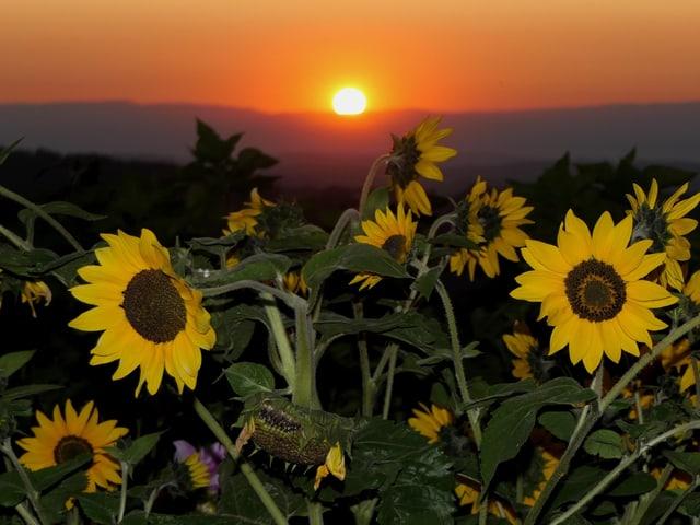 Ein Feld mit Sonneblummen im orangen Morgenlicht.