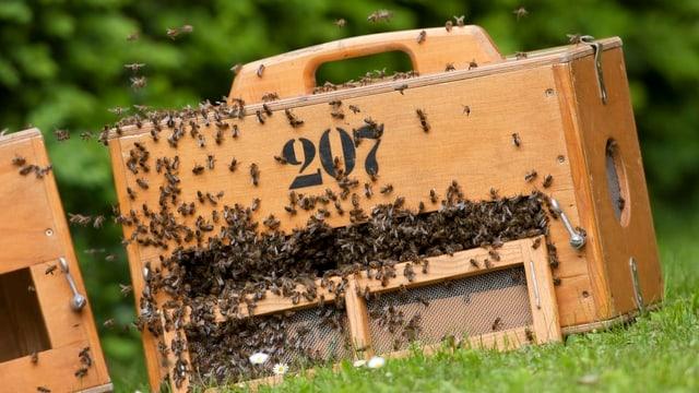 Das Nest der Bienenkönigin steckt in einer Holzkiste.