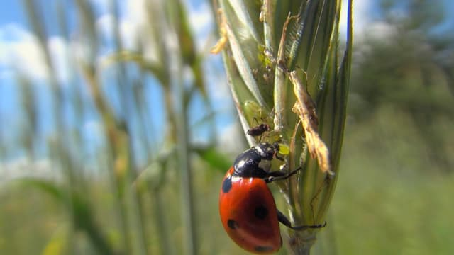 Marienkäfer an einer Getreideähre frisst eine Blattlaus