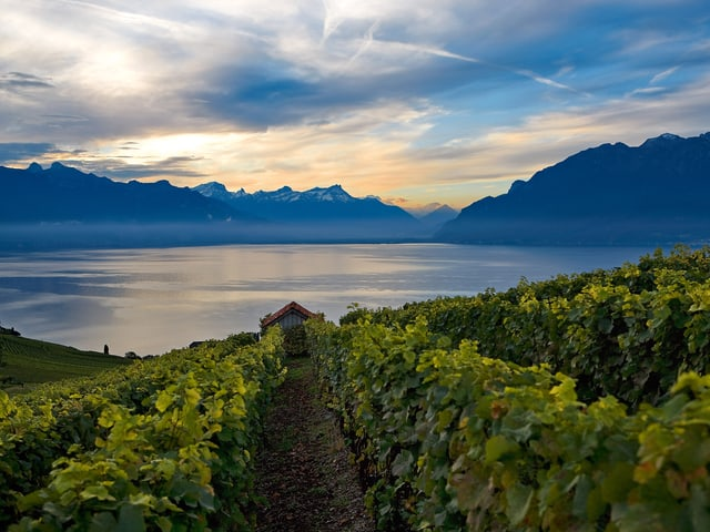 Morgenstimmung in den Rebbergen bei Rivaz mit Blick aufs Seebecken des Genfersees.