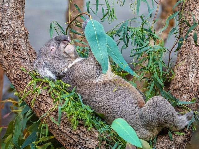 Koala Mikey frisst Eukalyptusblätter