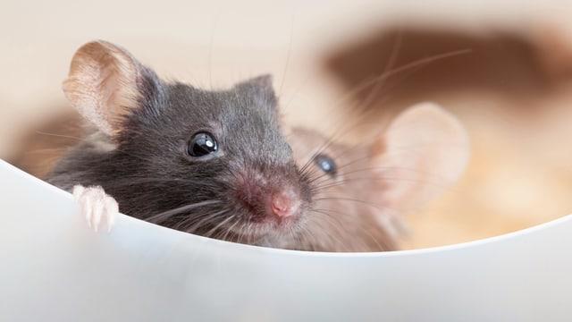 Maus flüstert anderer Maus etwas zu.