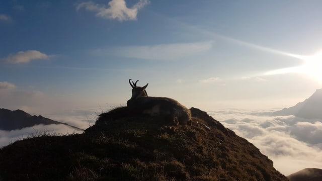 Gämse liegt auf einem Gipfel
