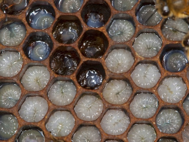 Maden von Honigbienen