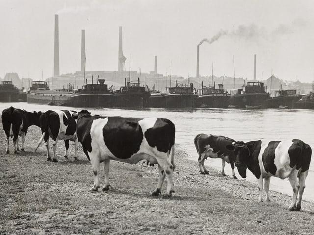 Ein paar Kühe stehen am Rheinufer.