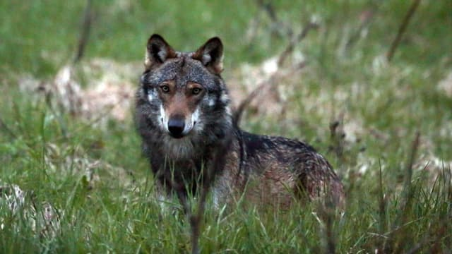 Ein Wolf steht im Grass