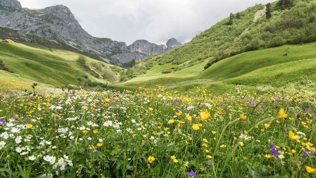 Blumenreiche Magerwiese in St. Antoenien-Partnun im buendnerischen Praettigau.