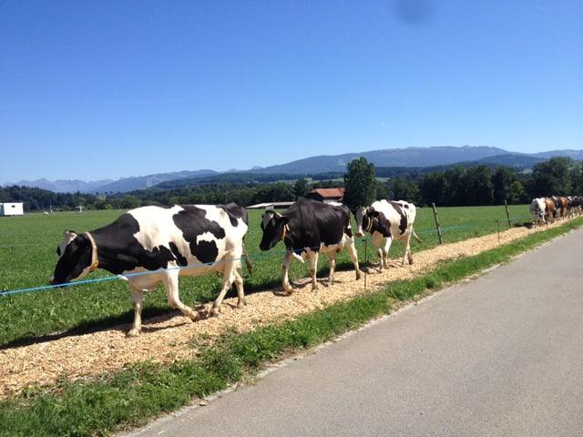 Kühe laufen einer Strasse entlang.