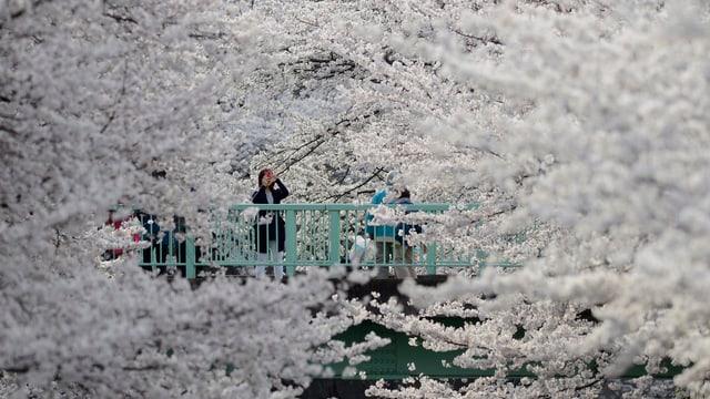 Kirschblüte in Japan.