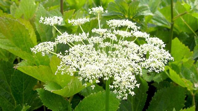 Weisse Blüten, Wirkstoffe in der Wurzel: Die Meisterwurz.