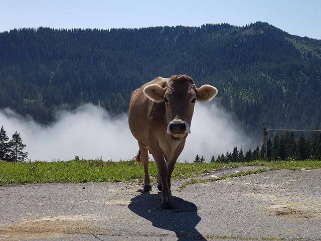Ein Kuh und Nebelfetzen.