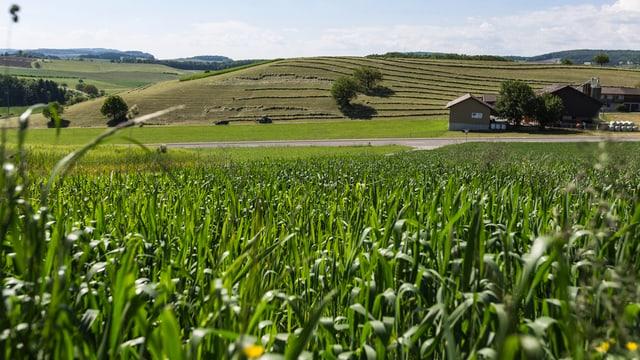 Ein Feld im Kanton Zürich.