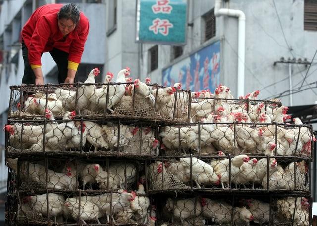 Zu sehen viele Hühner in Käfigen.