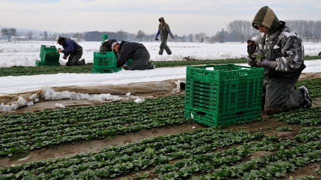 Ein Feldarbeiter erntet knieend Ernte Nüssli-Salat