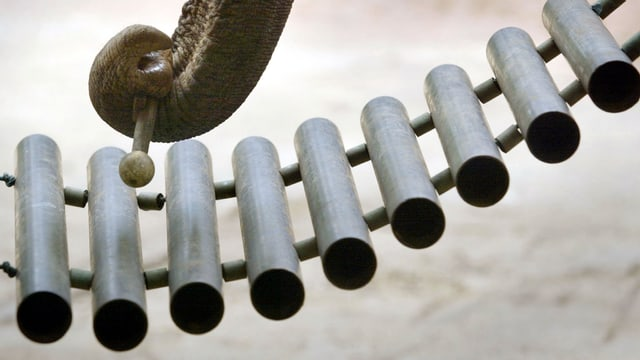 Ein Rüssel schlägt das Xylophon