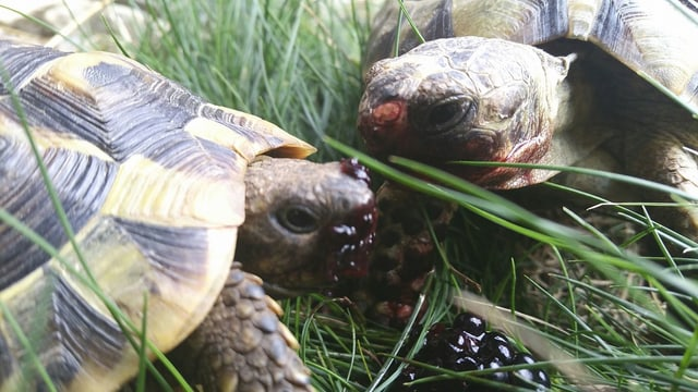 Las duas tartarugas da Riccardo Wolf.
