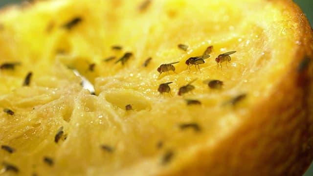 Fruchtfliegen auf einer angeschnittenen Zitrusfrucht