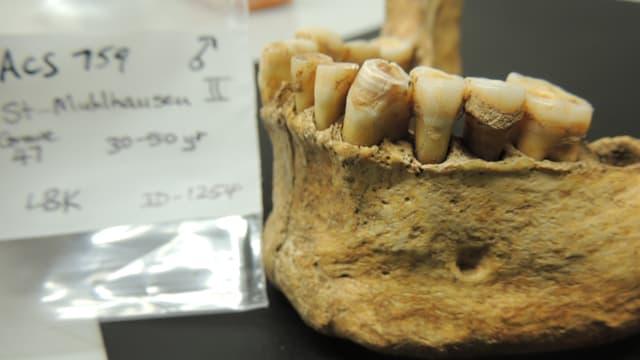 Prähistorischer Unterkiefer mit Zähnen