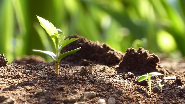 Duas plantas pruin ord la terra.