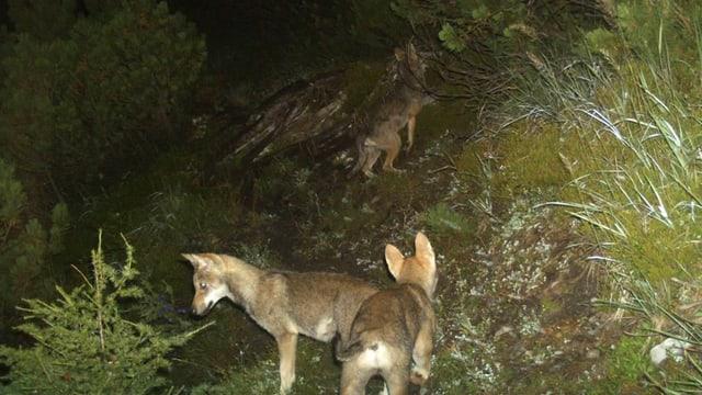 Drei Jungwölfe in der Nacht aufgenommen.