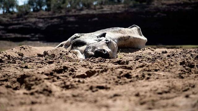 Eine tote Kuh