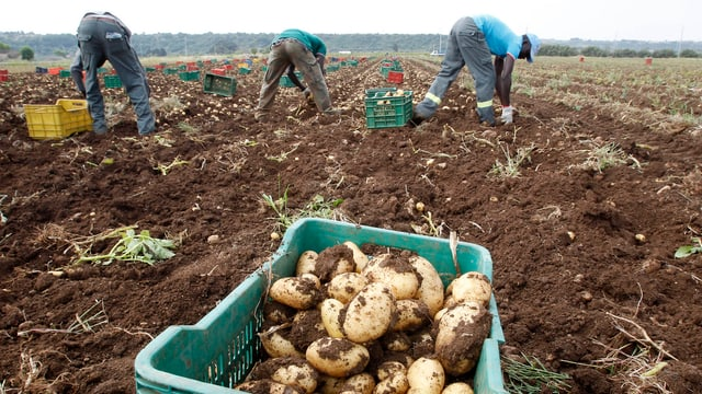Ausländische Erntehelfer auf einem Kartoffelfeld.
