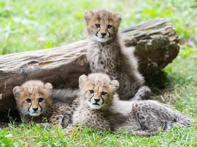 Drei Gepardenkinder an einem Baumstamm.