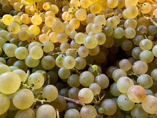 Sauvignon-Blanc-Trauben kurz nach der Ernte...