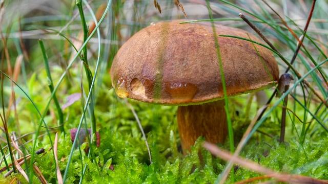 Ein Pilz im Gras