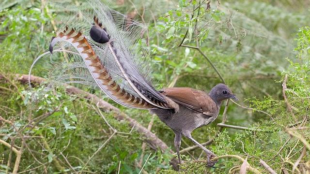 Ein Lyrebird im Baum.