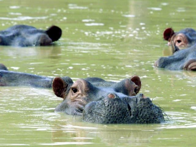 Nilpferde, die sich selbst ausgewildert haben, werden in Kolumbien zum Problem.
