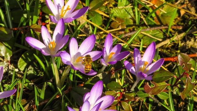Eine Biene hat sich auf die Wildkrokusse bei Worben gesetzt.