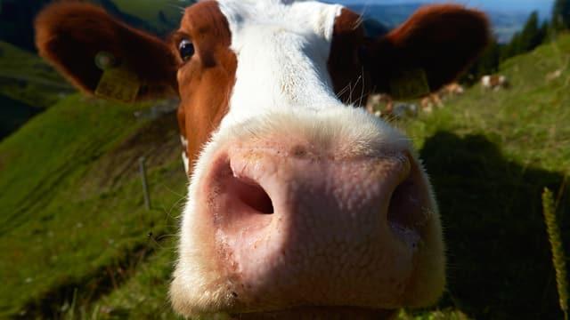 Das Gesicht einer Kuh – sehr nahe.