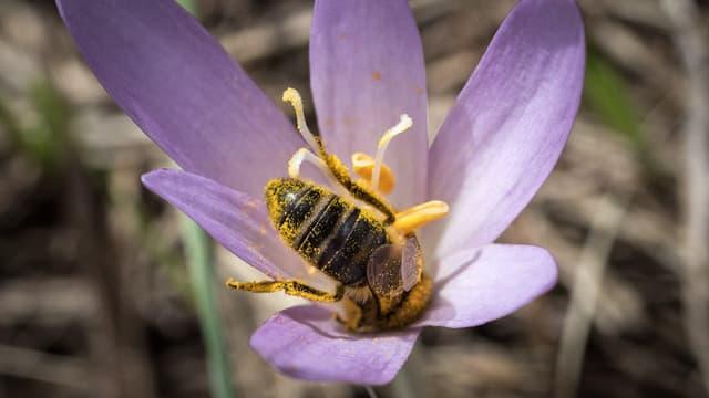 Eine Biene bestäubt eine Herbstzeitlose.